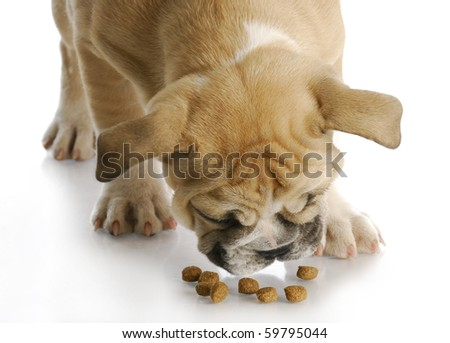 english bulldog puppy bent over to eat dog food with reflection on white background - 12 weeks old - stock photo