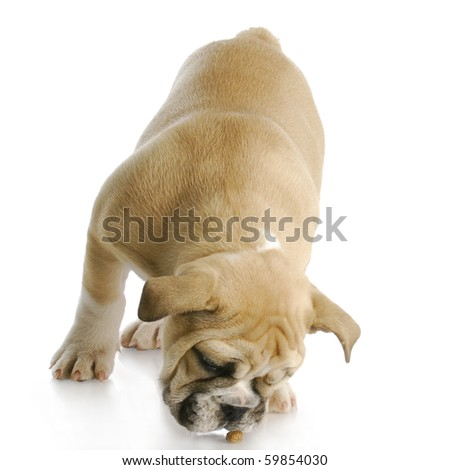 english bulldog puppy bent over to eat piece of dog food with reflection on white background - stock photo