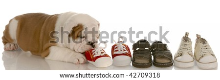 english bulldog puppy chewing line of shoes - seven weeks old - stock photo
