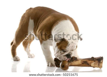english bulldog puppy chewing on a large bone with reflection on white background - stock photo