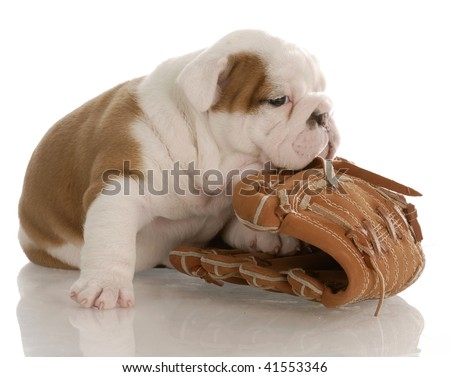 english bulldog puppy chewing on baseball glove - four weeks old