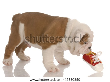 english bulldog puppy chewing on small running shoe - seven weeks old - stock photo