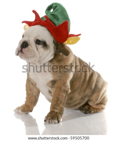 english bulldog puppy dressed up like a christmas elf - stock photo