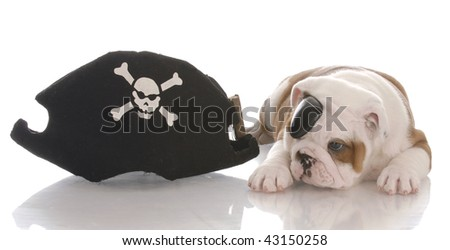 english bulldog puppy dressed up like a pirate - stock photo