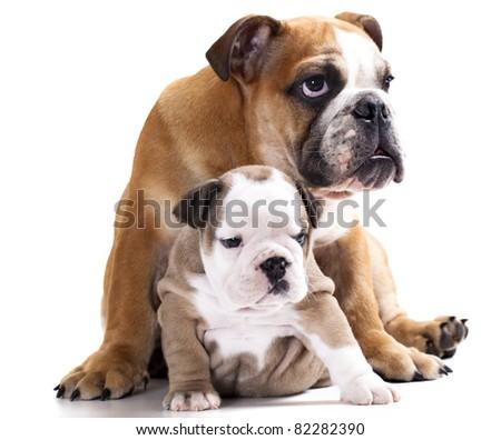 english Bulldog puppy , family dog, brother and sister - stock photo