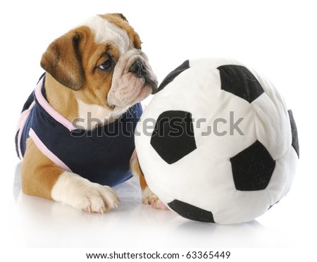 english bulldog puppy female wearing sports jersey playing with soccer ball - stock photo