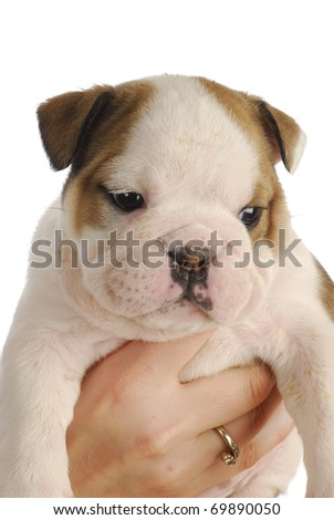 english bulldog puppy - five weeks old - on white background