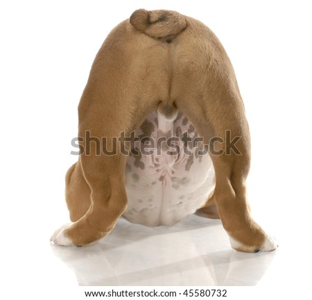 english bulldog puppy from the backside view with body in playful stance - stock photo