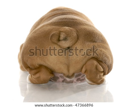 english bulldog puppy from the rear end with reflection on white background - stock photo