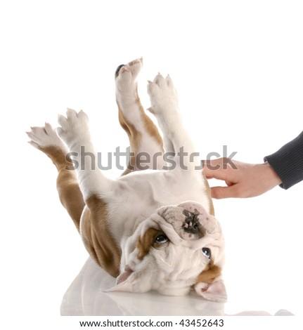 english bulldog puppy getting a tummy rub - stock photo