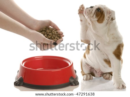 english bulldog puppy holding paw up begging for owner to feed him - stock photo