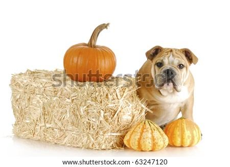 english bulldog puppy in autumn with straw and pumpkins