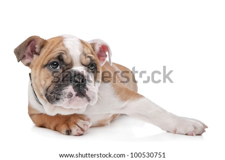 English bulldog puppy in front of a white background