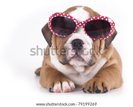 english Bulldog puppy in sunglasses - stock photo