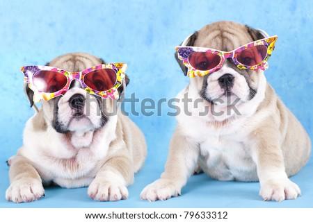 english Bulldog puppy in sunglasses - stock photo