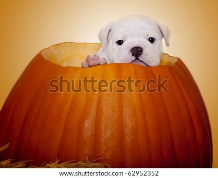 English Bulldog Puppy inside pumpkin - stock photo