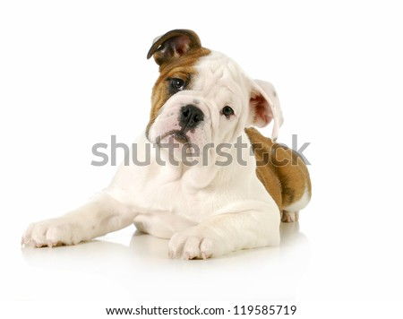 english bulldog puppy laying down looking at viewer on white background - 4 months old - stock photo