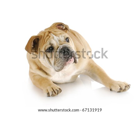 english bulldog puppy laying down looking off to the side with reflection on white background - stock photo