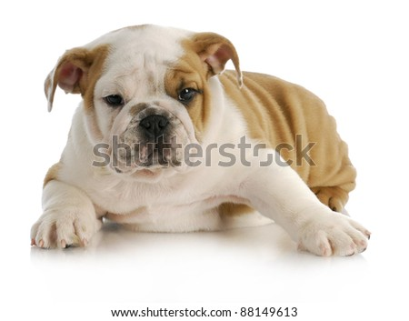 english bulldog puppy laying down with reflection on white background - stock photo