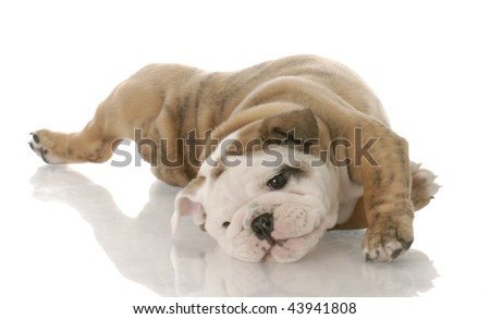 english bulldog puppy laying on her back - nine weeks old - stock photo