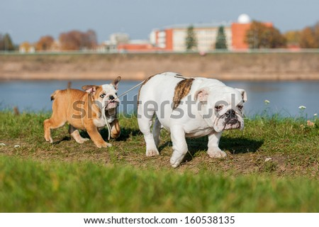English bulldog puppy leads its mother on a leash  - stock photo