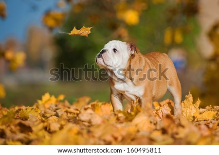 English bulldog puppy looking at falling leaf in autumn - stock photo