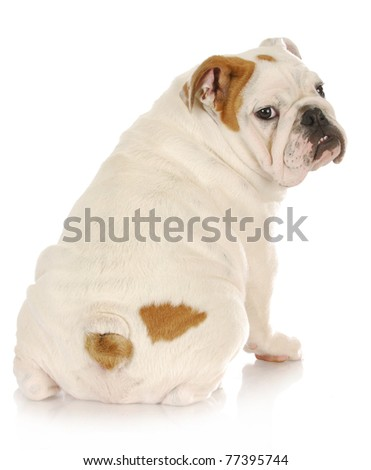 english bulldog puppy looking over shoulder on white background - 4 months old - stock photo