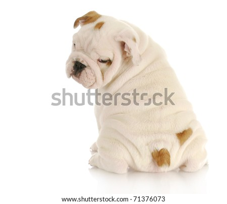 english bulldog puppy looking over shoulder on white background - 8 weeks old - stock photo
