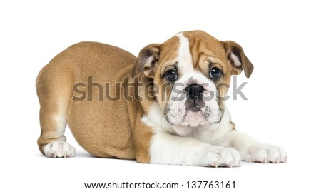English Bulldog Puppy lying and facing, 2 months old, isolated on white - stock photo