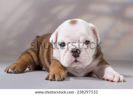 English bulldog puppy, lying on a gray background. Imitation tree branches in the background.