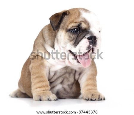 English bulldog puppy , 1, 5  months