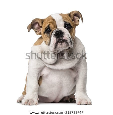English Bulldog puppy (3 months old) - stock photo