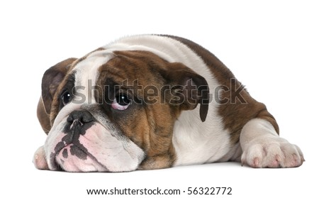 Bored English Bulldog English Bulldog Puppy