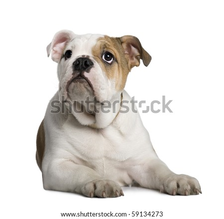 English Bulldog puppy, 3 months old, lying in front of white background - stock photo