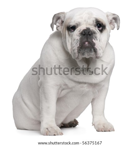 English Bulldog puppy, 7 months old, sitting in front of white background - stock photo