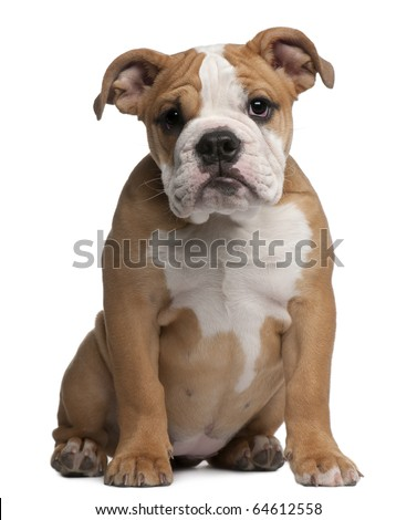 English Bulldog  puppy, 4 months old, sitting in front of white background - stock photo