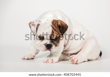 ENGLISH Bulldog puppy on white background