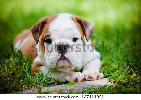 english bulldog puppy outdoors - stock photo