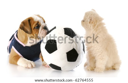 english bulldog puppy playing ball with cream persian kitten with reflection on white background