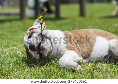 English Bulldog puppy playing on the grass in the park