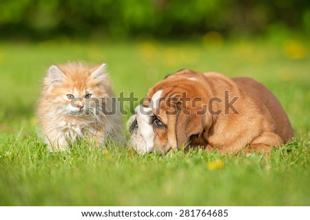English bulldog puppy playing with a little kitten