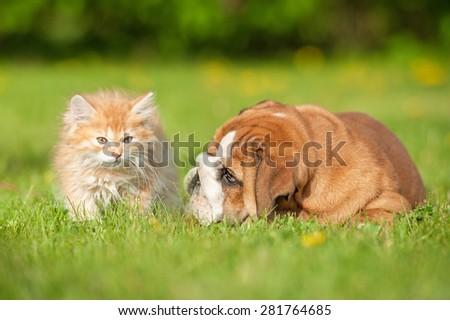 English bulldog puppy playing with a little kitten - stock photo