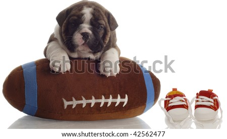 english bulldog puppy playing with football sitting beside running shoes - stock photo