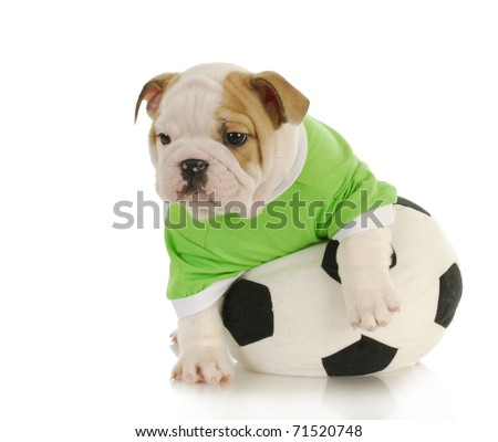 english bulldog puppy playing with stuffed soccer ball on white background - stock photo