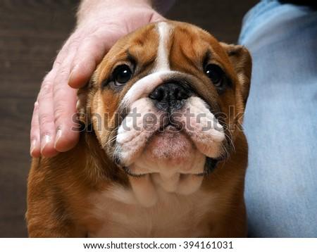 English bulldog puppy. Portrait. A man's hand stroking the dog. Muzzle puppy large - stock photo
