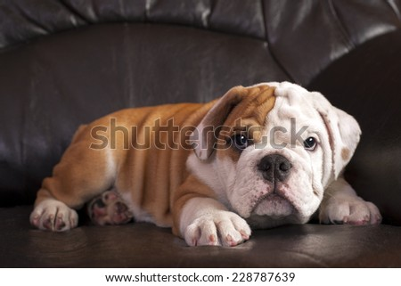 English bulldog puppy relaxing on black leather sofa. - stock photo