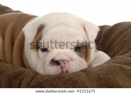 english bulldog puppy resting on blanket - 4 weeks old