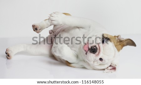 English Bulldog puppy rolling over on side
