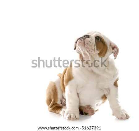 english bulldog puppy sitting down looking up with guilty looking expression with reflection on white background