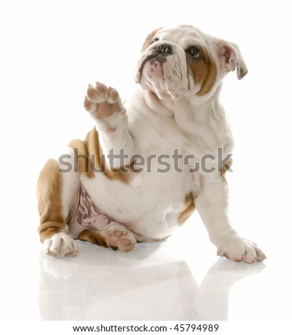 english bulldog puppy sitting holding paw up to viewer - stock photo